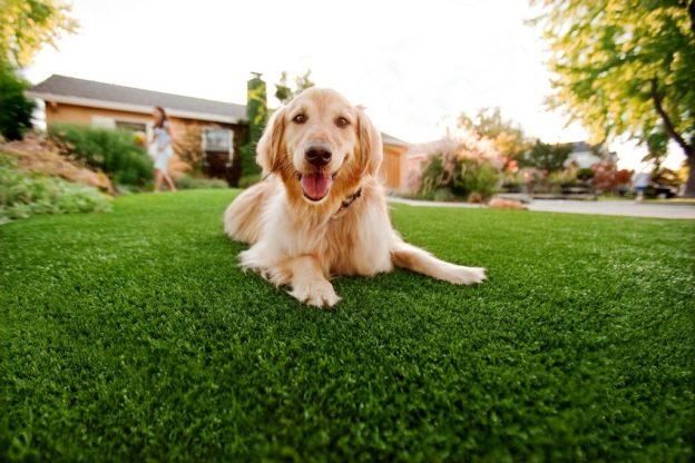 gazon synthetique avec un chien