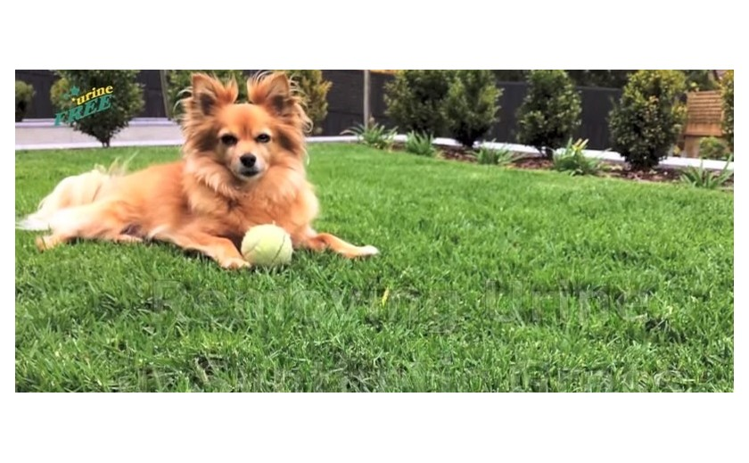 gazon synthetique urine chien
